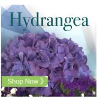 Hydrangea