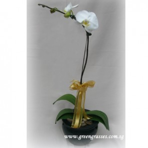 PP06002-Potted Wh Phalaenopsis
