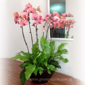 PP20016 Potted 6H Phaleanopsis Orchids